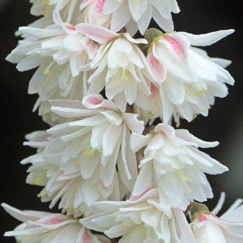 Deutzia scabra plena Ripieno asterisco arbusto 60-80cm