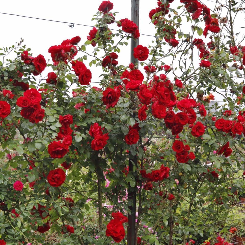 Rosa Rampicante In Vaso rosa 'roter korsar®' (rampicante)