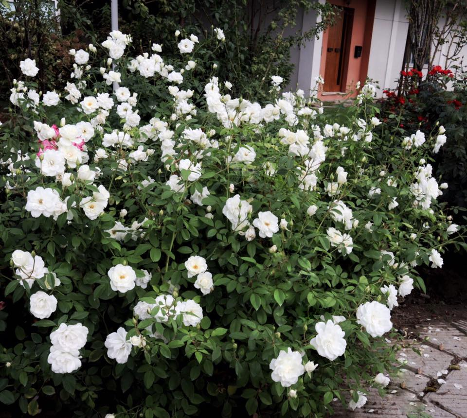 Rosa Rampicante In Vaso rosa 'iceberg' (arbusto)