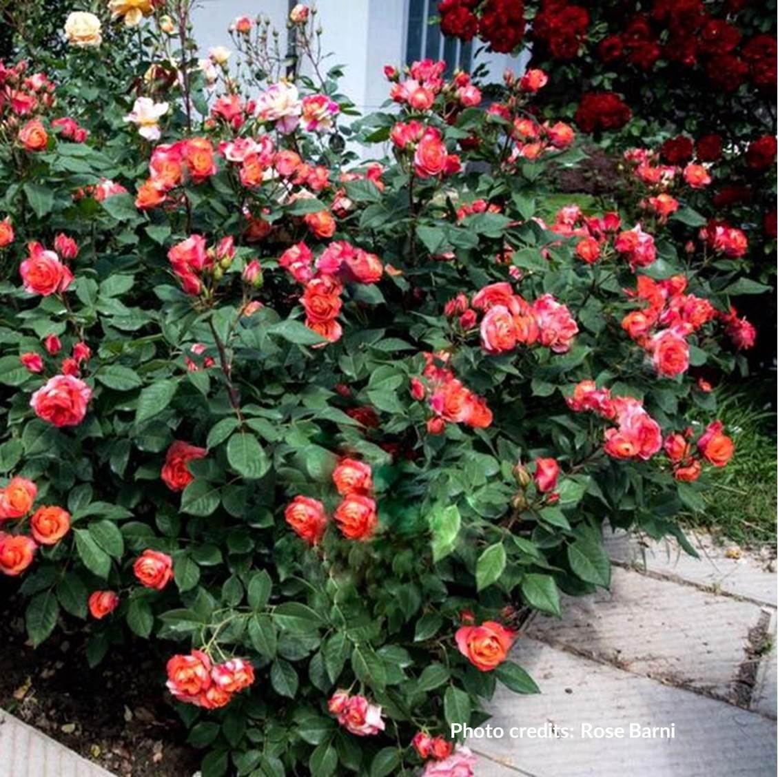 Rosa Rampicante In Vaso rosa 'briosa ®' (arbusto)